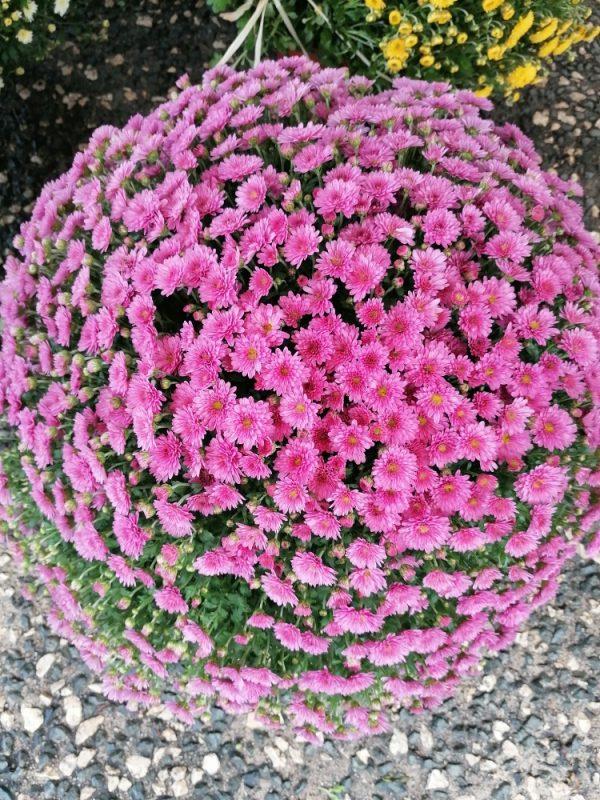 Chrysanthème rose parme