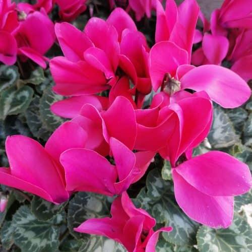 plante du moment : cyclamen