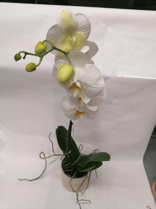Orchidées blanche