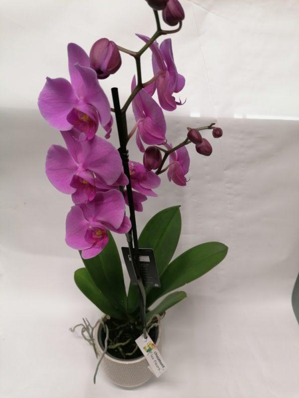 Orchidée rose parme